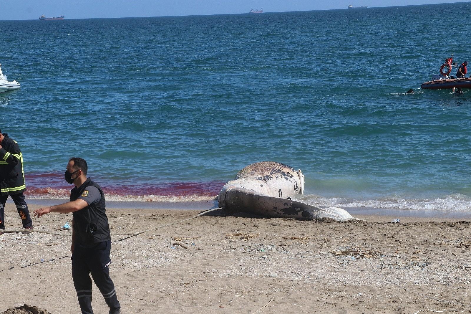 2021/05/mersin-sahile-cikarilan-dev-balina-gorenleri-saskina-cevirdi-20210513AW31-10.jpg