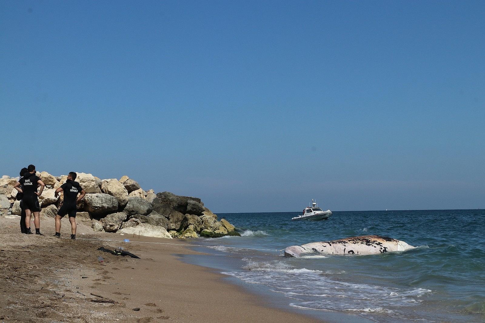 2021/05/mersin-sahile-cikarilan-dev-balina-gorenleri-saskina-cevirdi-20210513AW31-3.jpg