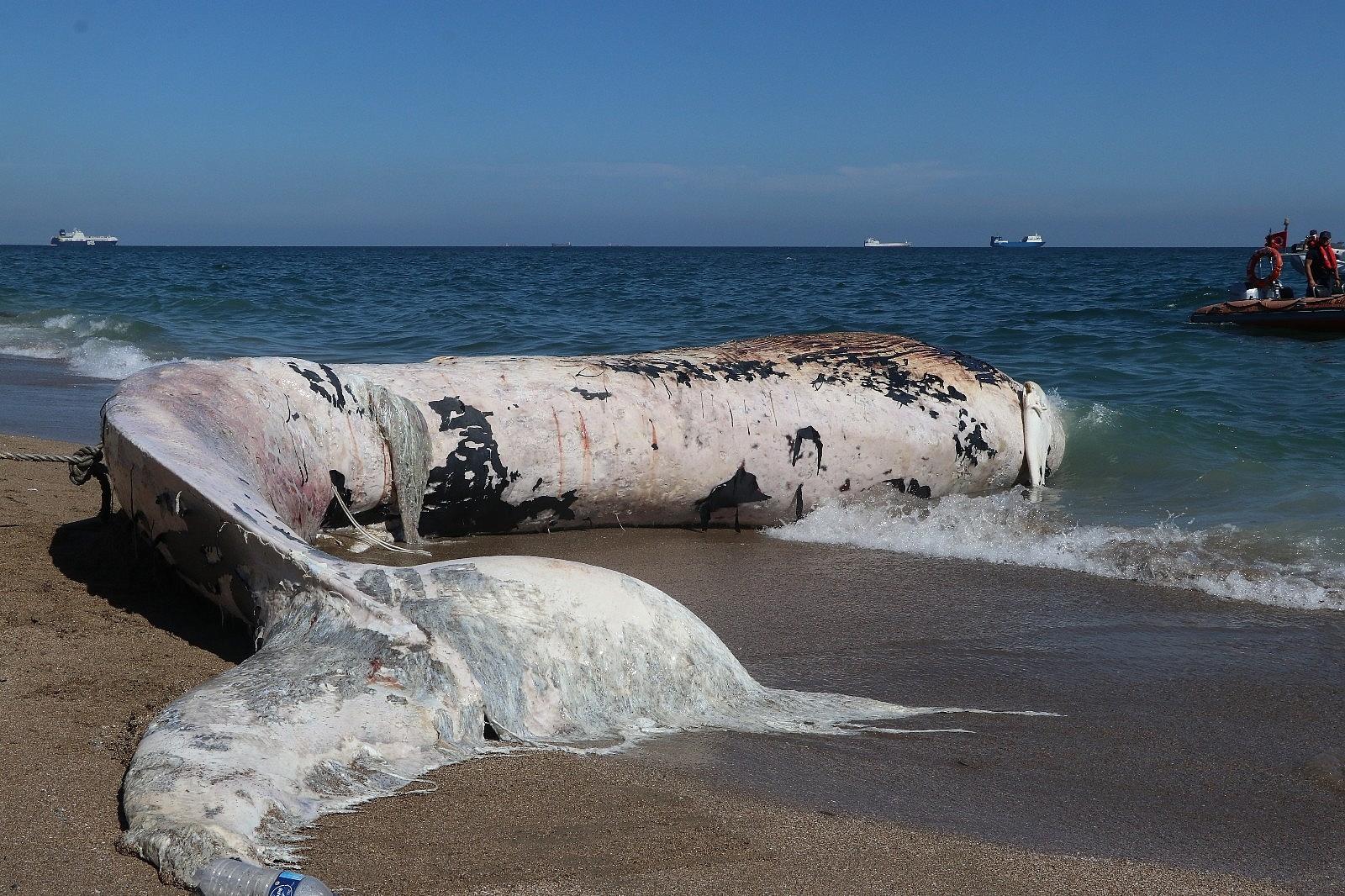 2021/05/mersin-sahile-cikarilan-dev-balina-gorenleri-saskina-cevirdi-20210513AW31-8.jpg