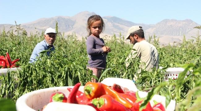 Karaman'dan 15 ile salçalık biber satışı