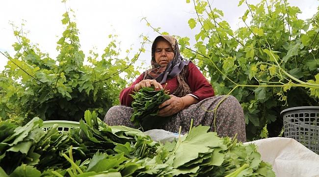 Hadim'de Asma yaprağı üreticiyi sevindiriyor